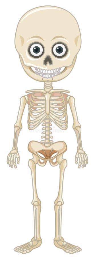 Esqueleto humano em Backgroung branco ilustração do vetor