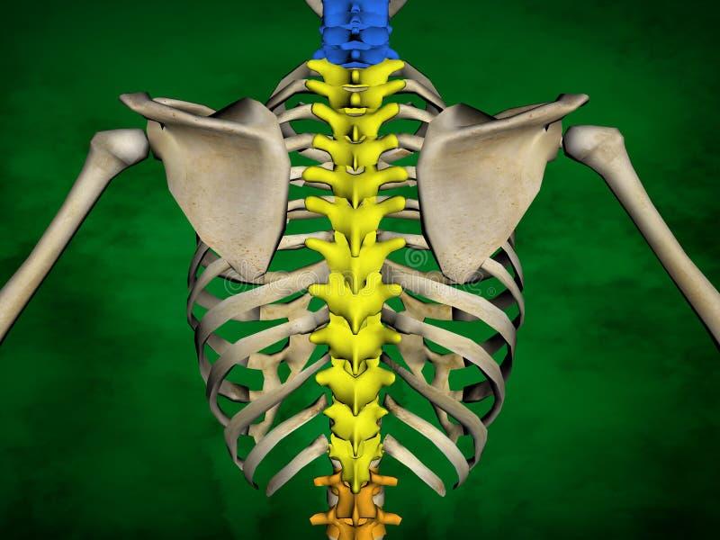 Esqueleto Humano M-SK-POSE Bb-56-15, Columna Vertebral, Modelo 3D ...