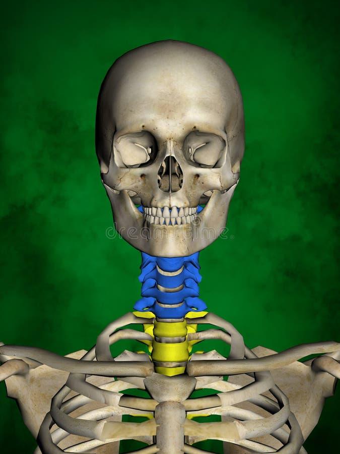 Esqueleto Humano M-SK-POSE Bb-56-11, Columna Vertebral, Modelo 3D ...