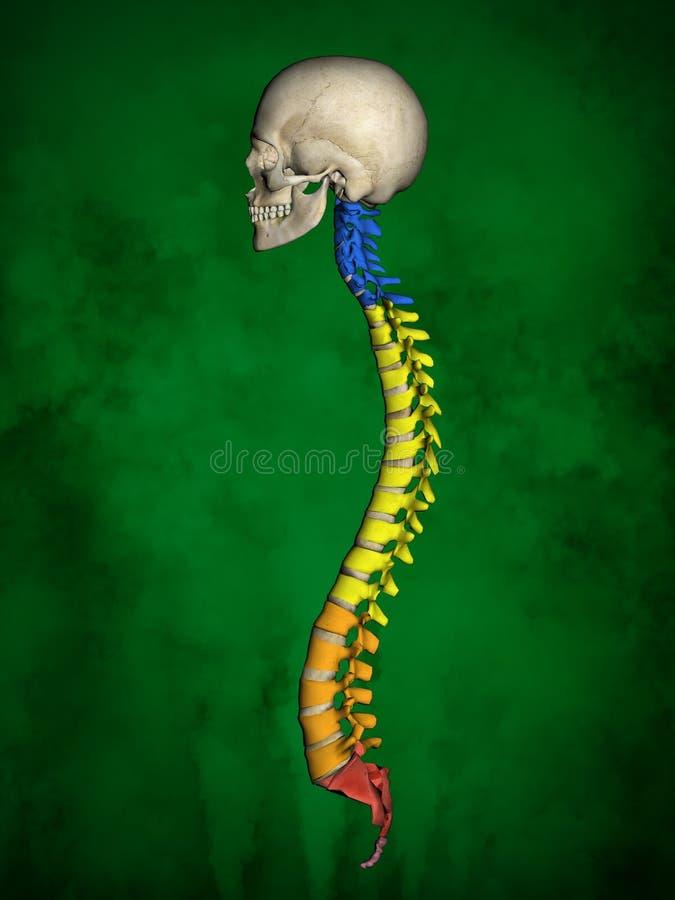Esqueleto humano M-SK-POSE Bb-56-18, columna vertebral, modelo 3D libre illustration