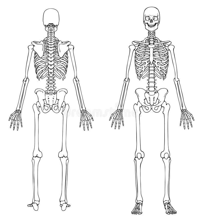 Esqueleto humano - parte dianteira e parte traseira ilustração royalty free