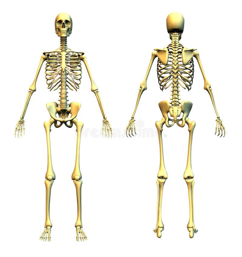 Esqueleto humano - parte dianteira e parte traseira ilustração do vetor