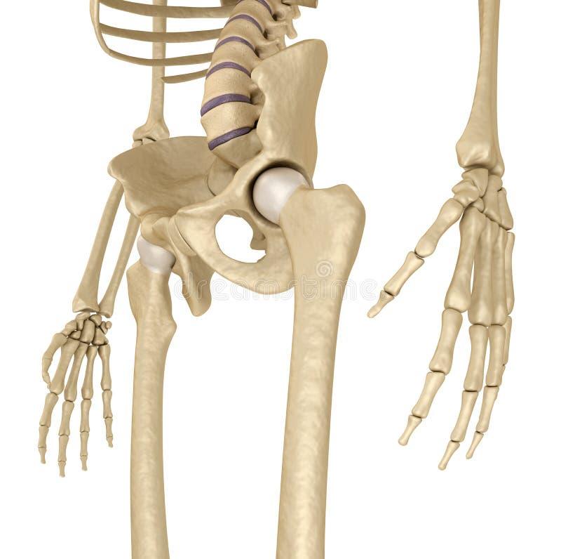 Esqueleto Humano: Pelvis Y Sacro Aislado En Blanco Stock de ...