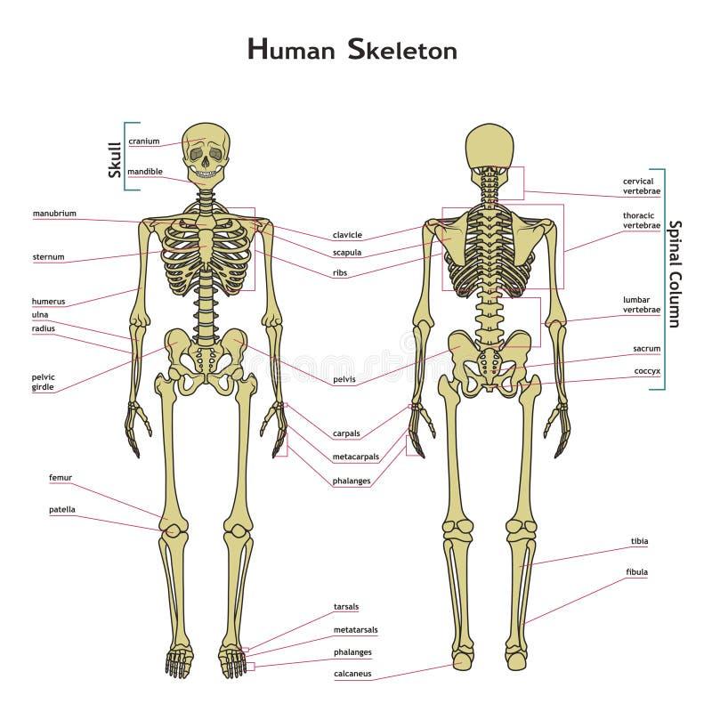Esqueleto Humano, Visión Delantera Y Trasera Con Explanatations ...