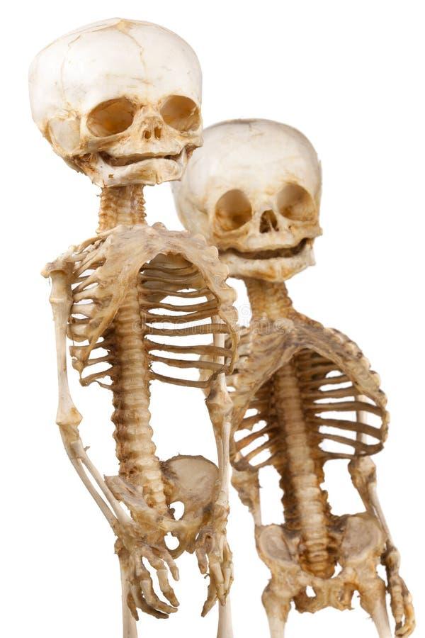 Esqueleto médico humano dos fotos de archivo