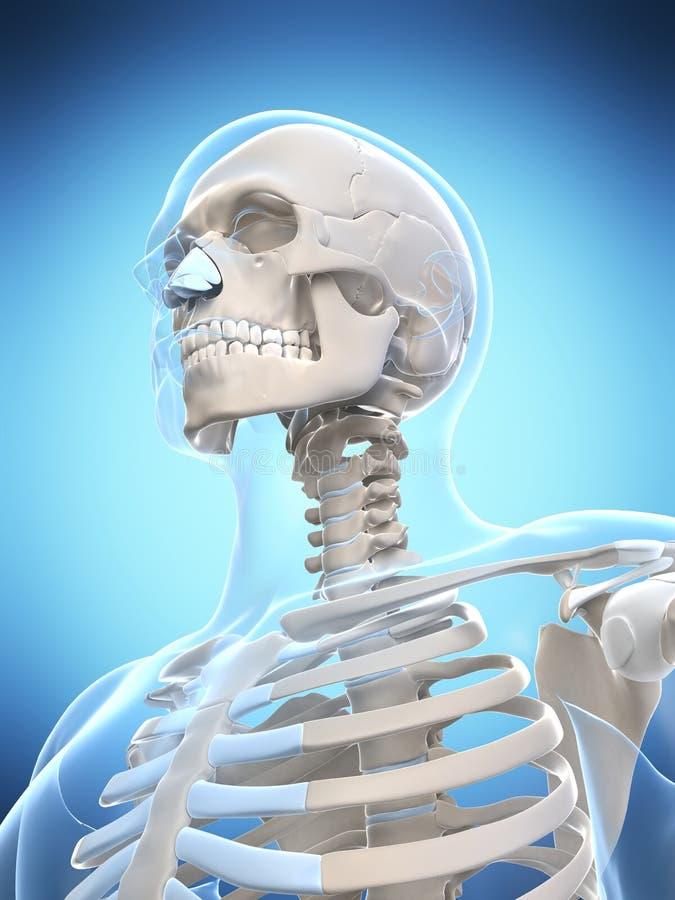 Esqueleto masculino ilustração stock