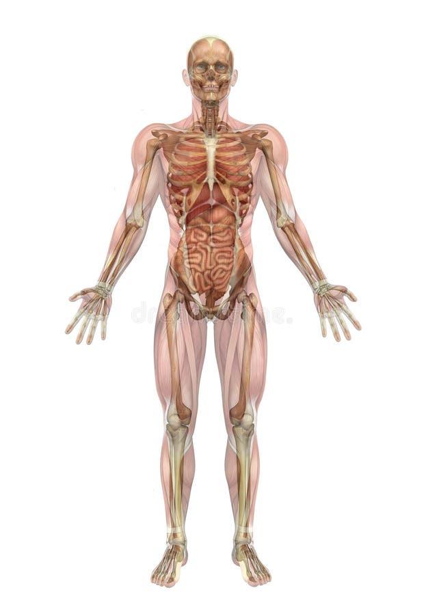 Esqueleto masculino y órganos internos con los músculos ilustración del vector