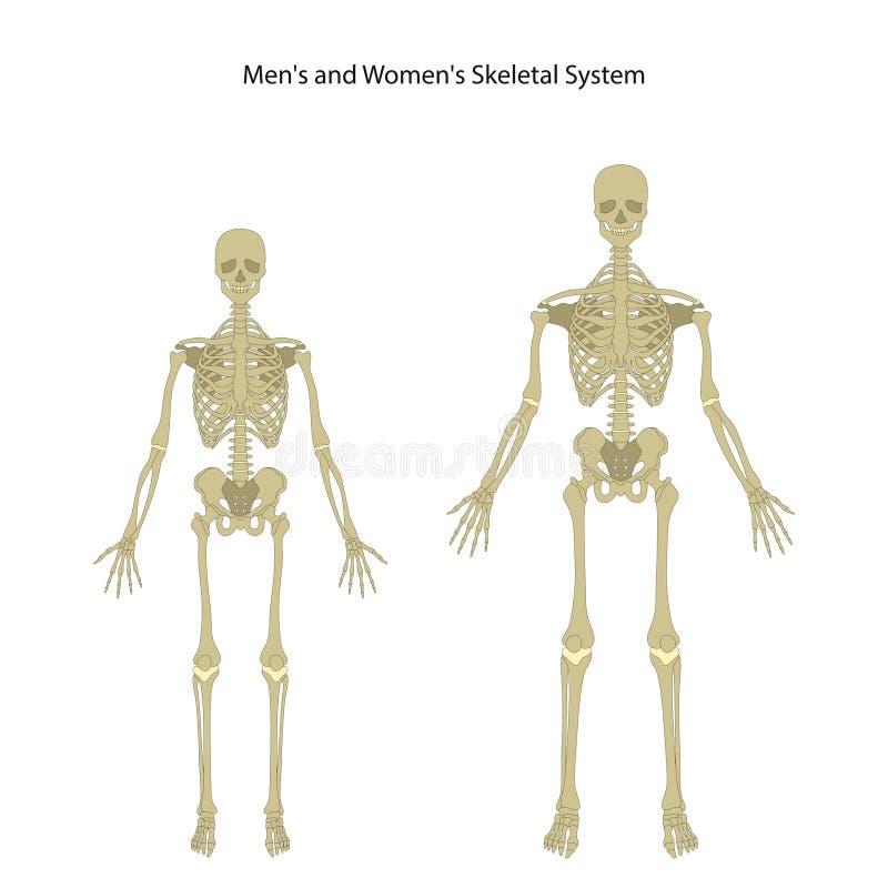 Atractivo Esqueleto Femenino Humano Ilustración - Imágenes de ...