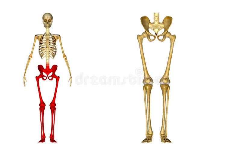 Esqueleto: Ossos do quadril, do fêmur, da tíbia, do perônio, do tornozelo e de pé fotografia de stock royalty free
