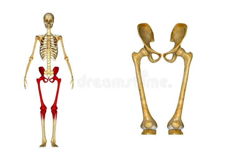 Esqueleto: Ossos do quadril e do fêmur ilustração royalty free