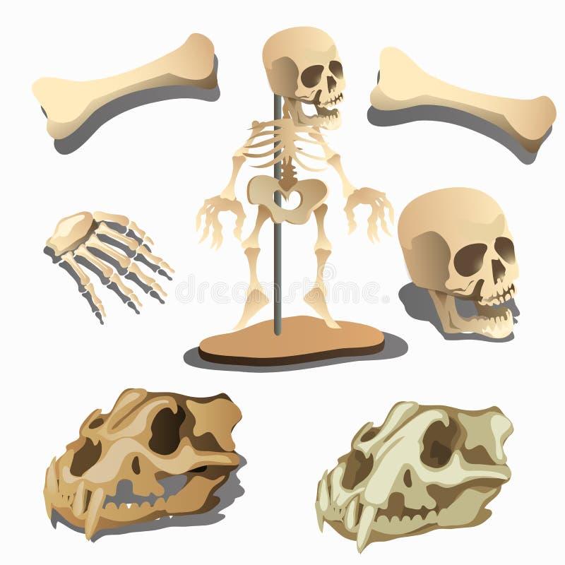 Esqueleto, Partes Del Cuerpo Y Cráneos Humanos De Los Animales ...