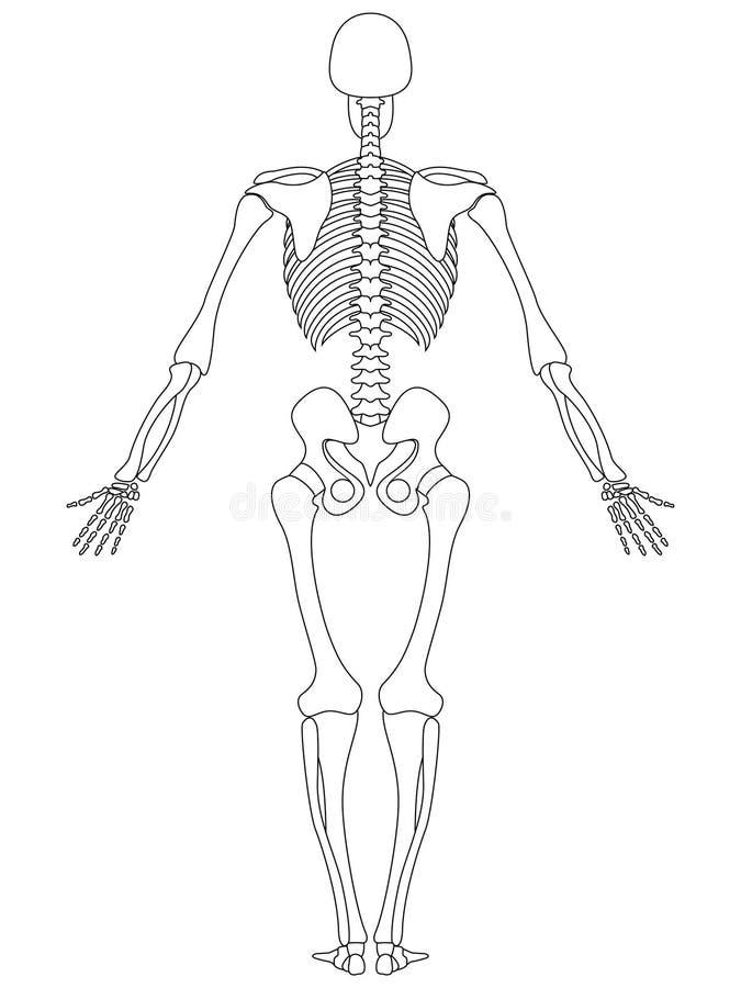Esqueleto: Visión trasera ilustración del vector. Ilustración de ...