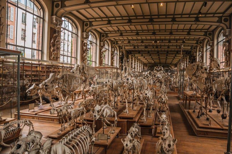 Esqueletos de animales en el pasillo enorme en la galería de la paleontología y de la anatomía comparativa en París foto de archivo libre de regalías