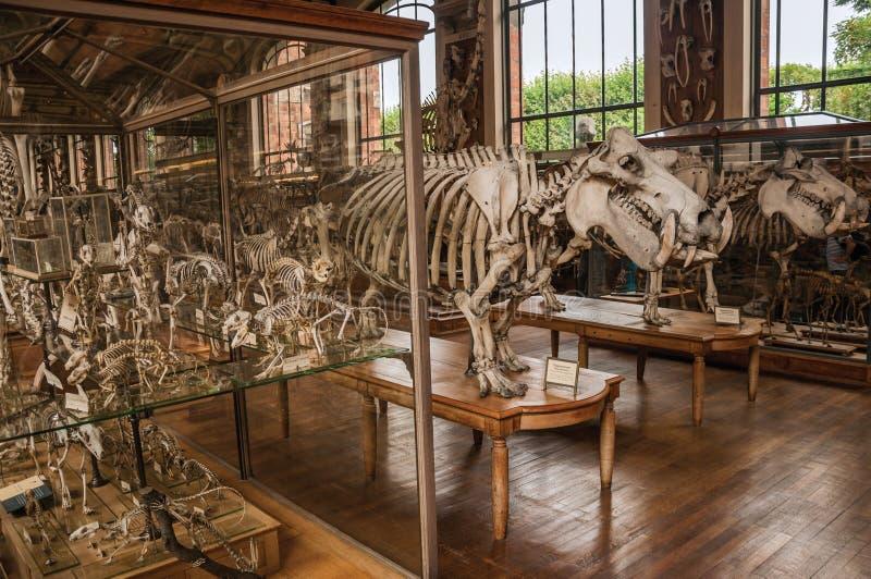 Esqueletos de animales en el pasillo enorme en la galería de la paleontología y de la anatomía comparativa en París imagenes de archivo