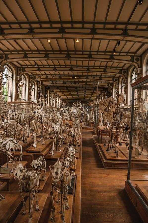 Esqueletos de animales en el pasillo enorme en la galería de la paleontología y de la anatomía comparativa en París fotografía de archivo libre de regalías