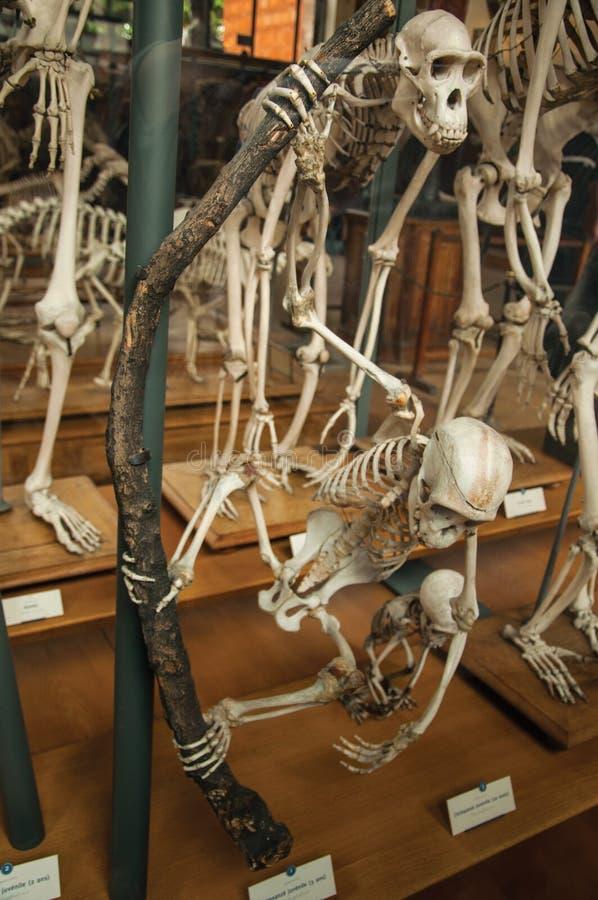 Esqueletos de los primates en el pasillo enorme en la galería de la paleontología y de la anatomía comparativa en París fotografía de archivo libre de regalías