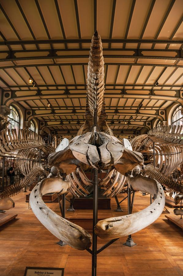 Esqueletos de mamíferos marinos en el pasillo en la galería de la paleontología y de la anatomía comparativa en París imagen de archivo libre de regalías