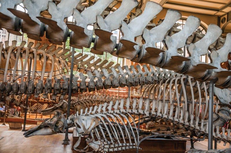Esqueletos de mamíferos marinos en el pasillo en la galería de la paleontología y de la anatomía comparativa en París foto de archivo libre de regalías