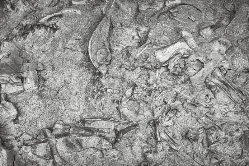 Esqueletos del dinosaurio en el monumento nacional del dinosaurio, Utah, los E.E.U.U. fotografía de archivo libre de regalías