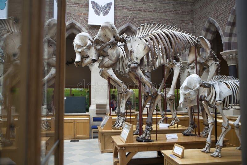 Esqueletos del elefante, Universidad de Oxford, museo de la historia natural oxford inglaterra imágenes de archivo libres de regalías
