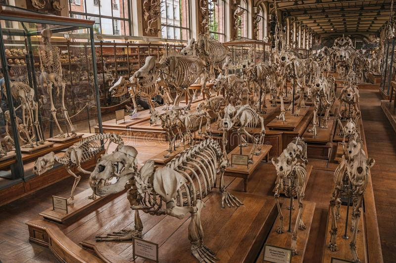 Esqueletos dos animais no salão enorme na galeria da paleontologia e da anatomia comparativa em Paris foto de stock royalty free
