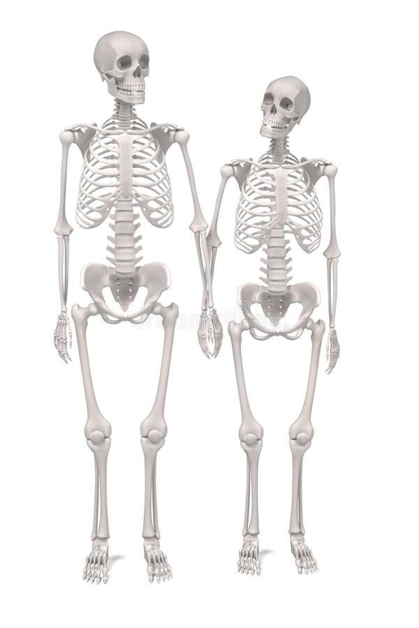 Esqueletos humanos ilustração royalty free