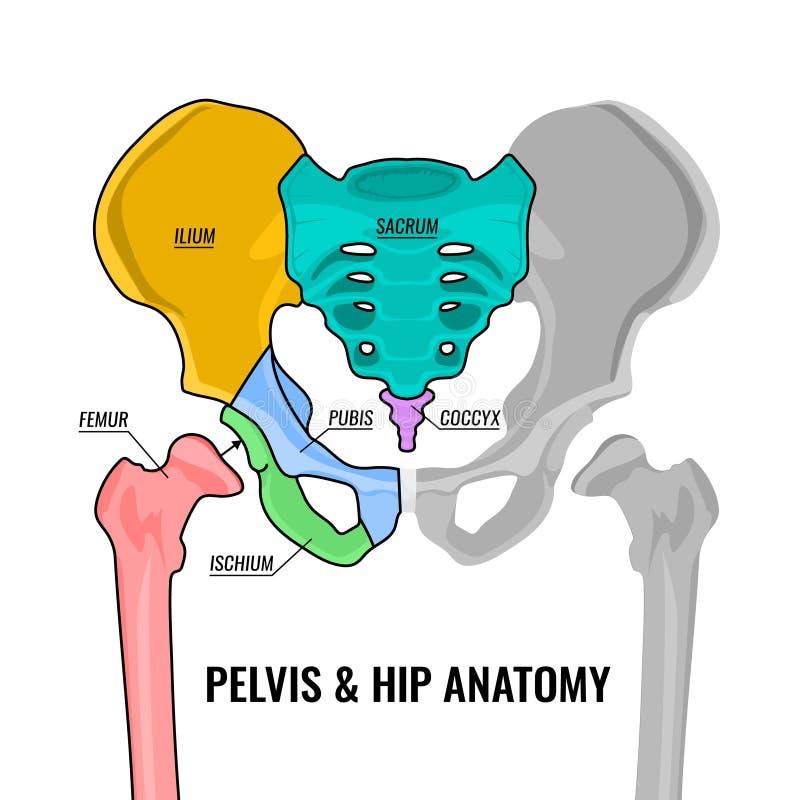 Esquema da anatomia da pelve ilustração stock