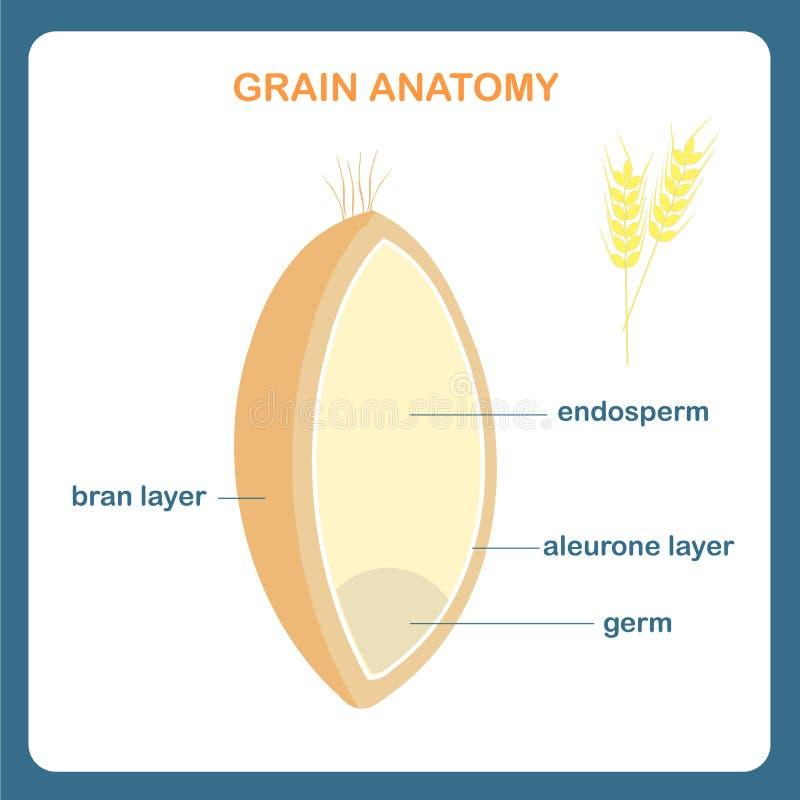 Esquema de la anatomía del grano Enrruelle el grano, endospermo, capa del salvado, capa de la aleurona, germen libre illustration