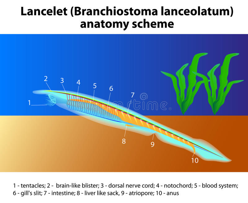 Esquema De La Anatomía Del Lanceolatum De Branchiostoma Ilustración ...