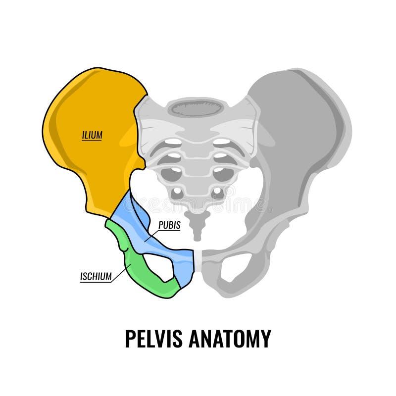 Esquema de la anatomía de la pelvis libre illustration