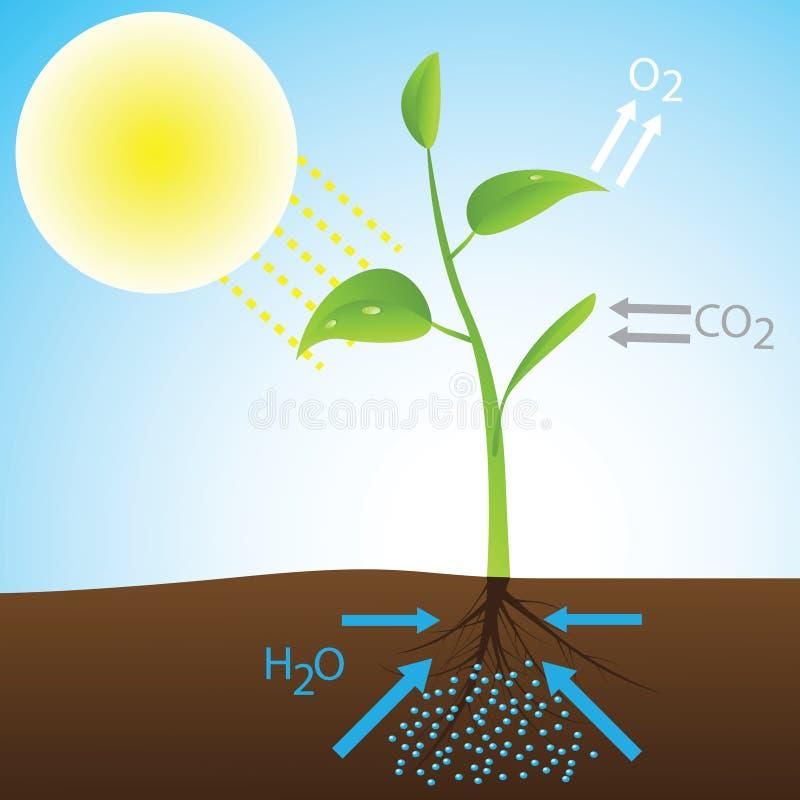 Esquema de la fotosíntesis ilustración del vector
