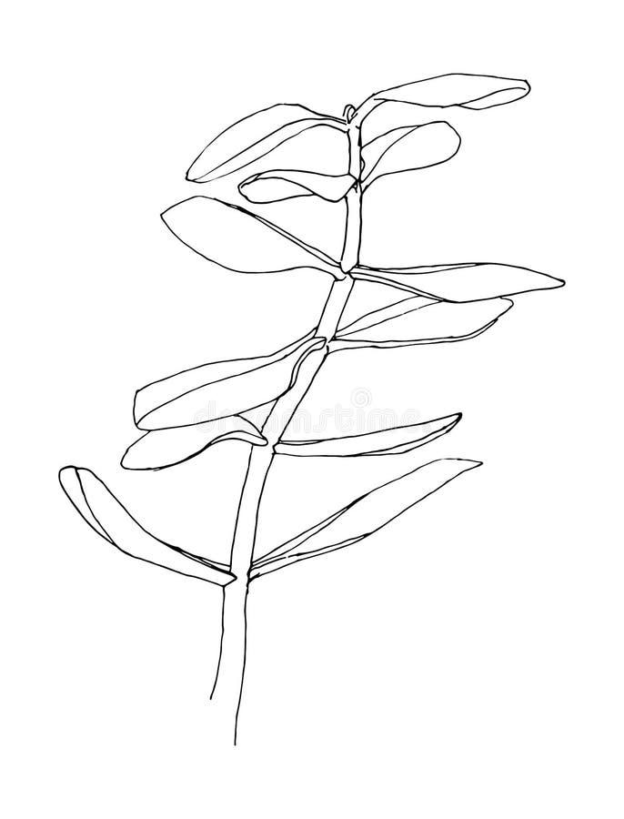 Esquema de la hierba Crassula Planta dibujada mano Ejemplo del vector del bosquejo stock de ilustración