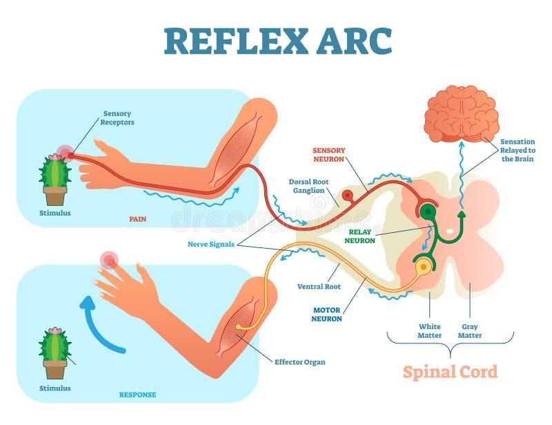 Esquema do arco de reflexo, ilustração anatômicos espinais do vetor, com estímulo, o neurônio sensorial, o neurônio de motor e o  ilustração do vetor