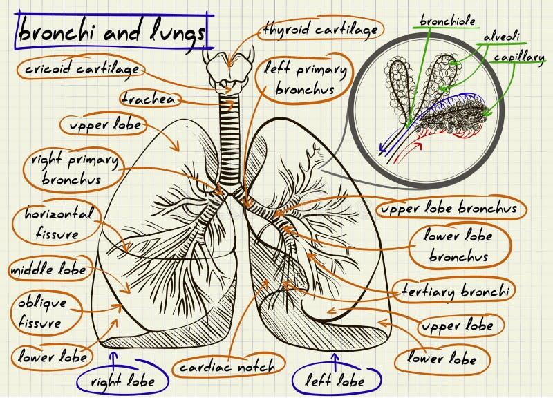 Esquema dos pulmões humanos ilustração stock