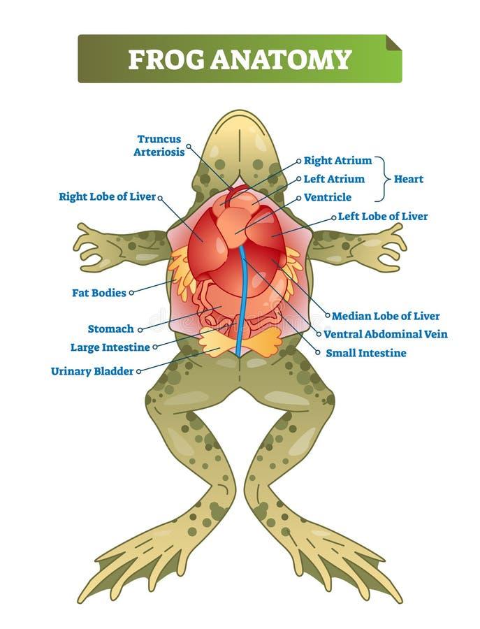 Esquema etiquetado anatomía del ejemplo del vector de la rana Preparación educativa stock de ilustración
