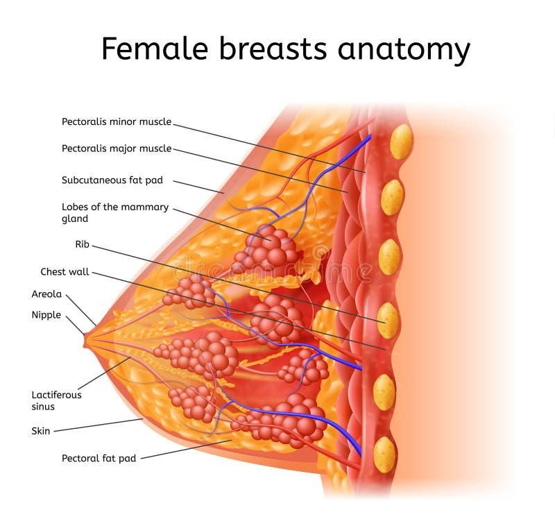 Esquema médico do vetor da anatomia fêmea humana de Bresta ilustração royalty free