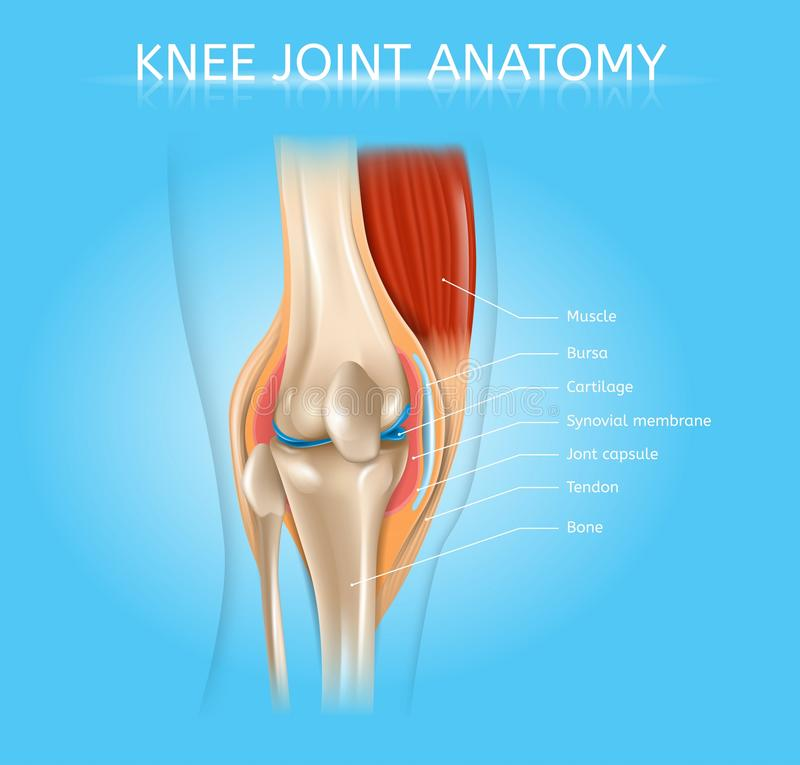 Esquema realístico do vetor da anatomia humana da articulação do joelho ilustração royalty free