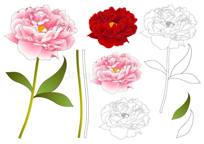Esquema rosado y rojo de la flor de la peonía Aislado en el fondo blanco Ilustración del vector stock de ilustración