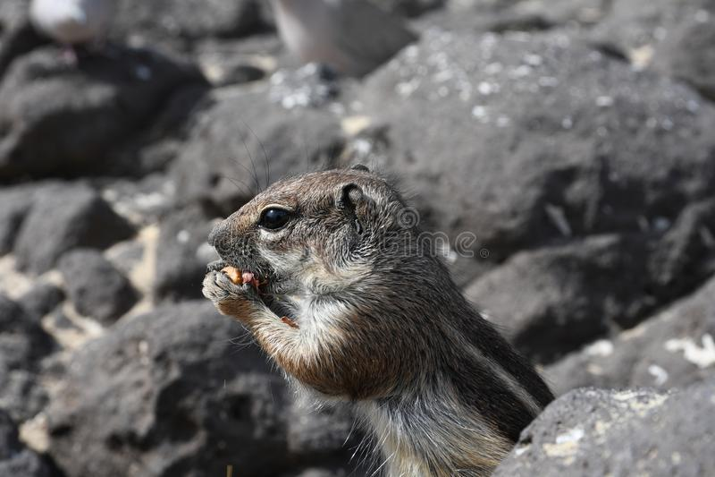 Esquilo à terra de Barbary fotografia de stock royalty free