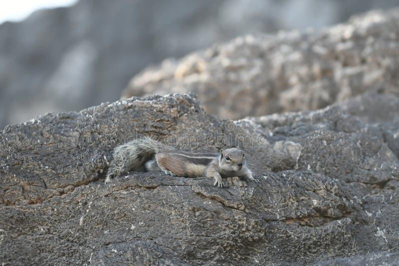 Esquilo à terra de Barbary fotos de stock