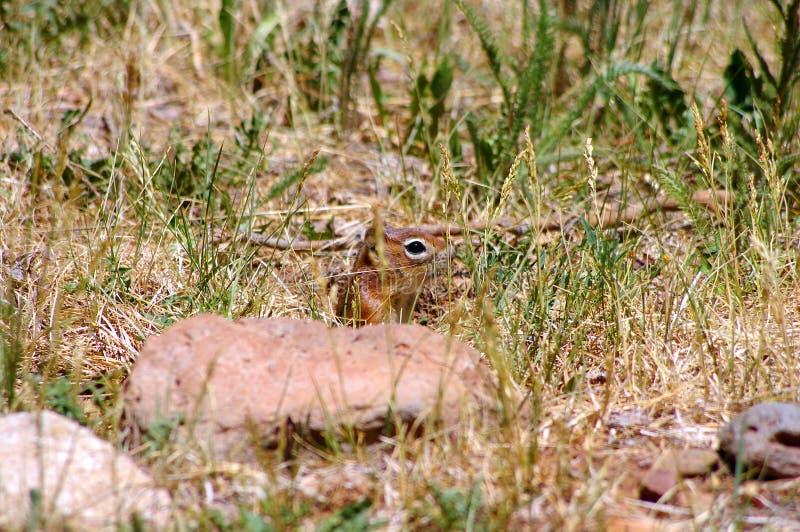 Esquilo à terra de New mexico que esconde na grama fotografia de stock