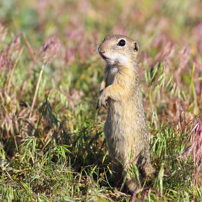 Esquilo à terra europeu alarmado foto de stock