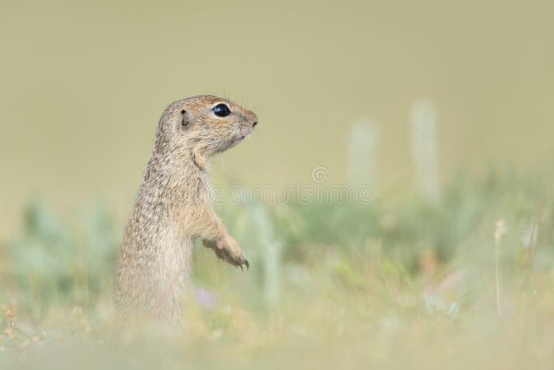Esquilo à terra europeu bonito que está e que olha em um campo da grama verde imagens de stock royalty free