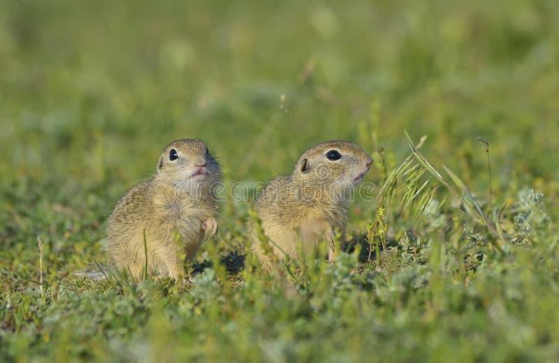 Esquilo à terra europeu (citellus do Spermophilus) foto de stock royalty free
