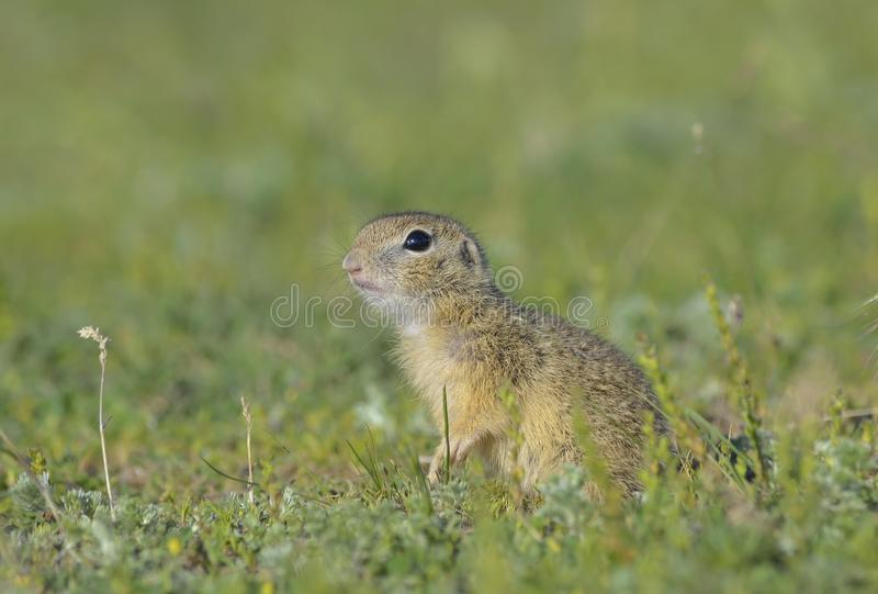 Esquilo à terra europeu (citellus do Spermophilus) foto de stock