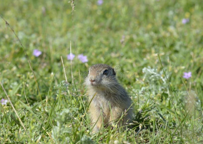 Esquilo à terra europeu (citellus do Spermophilus) fotos de stock royalty free