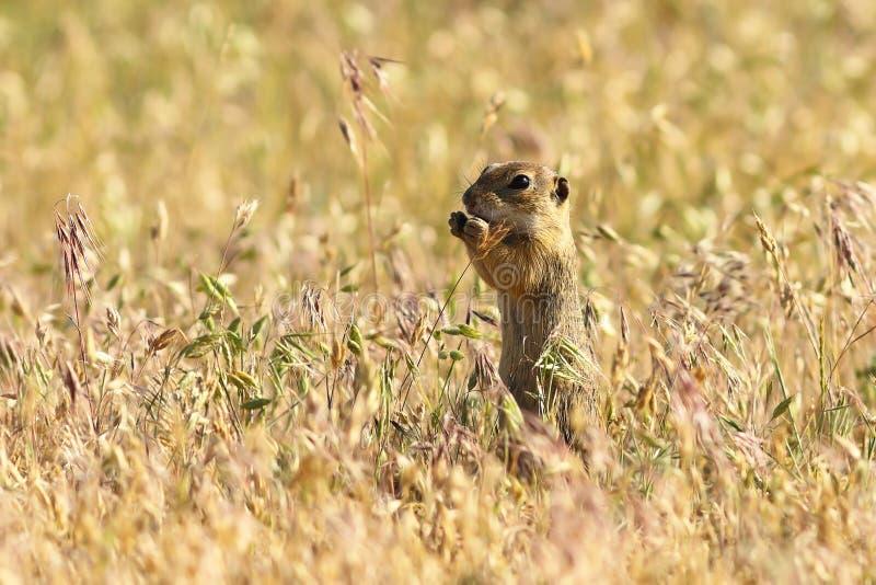 Esquilo à terra europeu no habitat natural fotografia de stock royalty free
