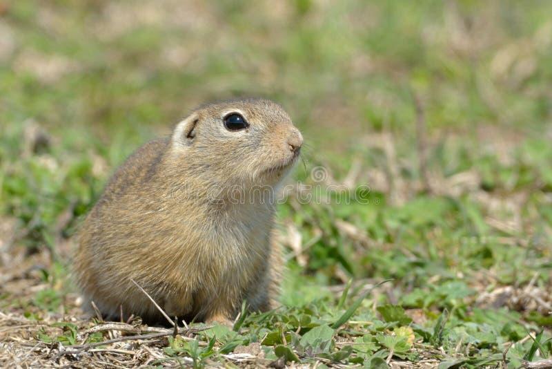 Esquilo à terra europeu ou Souslik na primavera imagens de stock