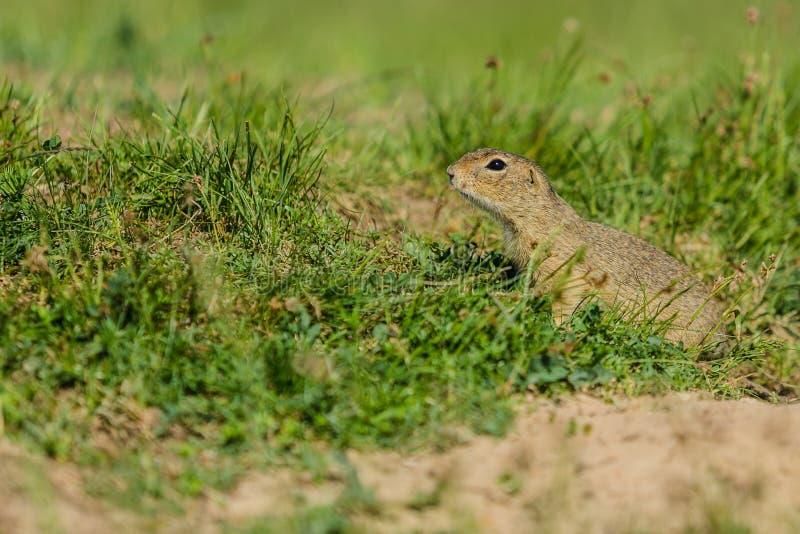 Esquilo à terra europeu pequeno na grama verde foto de stock