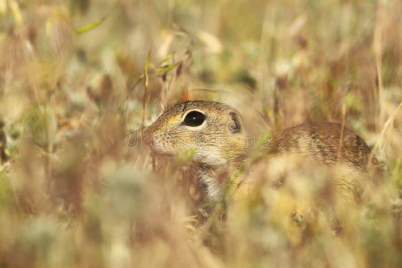 Esquilo à terra europeu que esconde na grama imagem de stock